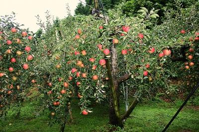 8月-11月:リンゴ狩り