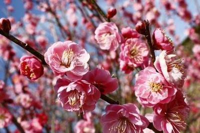2月-3月:嬉野みゆき公園 梅まつり