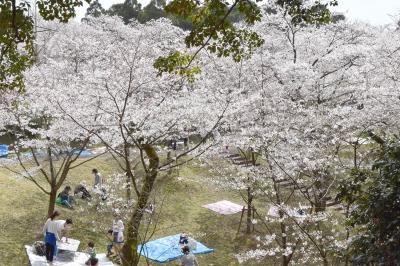 3月-4月:田代公園の桜