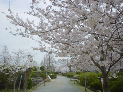 3月-4月:神野公園の桜