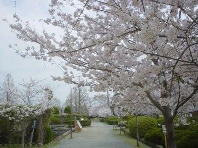 Mar-Apr: Cherry Blossom in Kouno Park