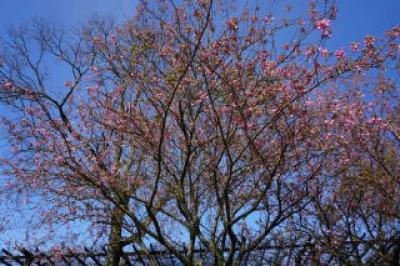 3月-4月:鏡山の桜