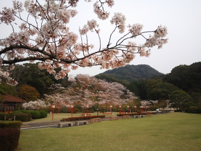 Mar-Apr: Cherry Blossom in Seikei Park