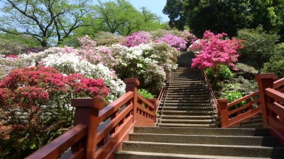 Apr-May: Azalea at Yutoku Inari Shrine
