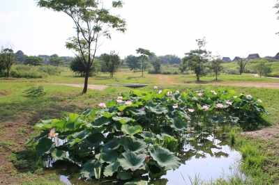 6月-7月:吉野ヶ里歴史公園の大賀ハス