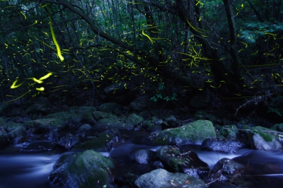 5-6月:小城市 祇園川のホタル