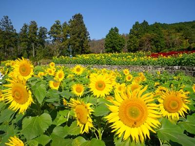 10-11月:秋に咲くひまわり(山田ひまわり園)