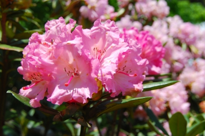 Apr-May:Koyaji Rhododendron