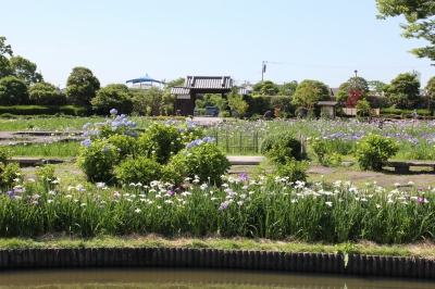 5月-6月:佐賀大和 花菖蒲園