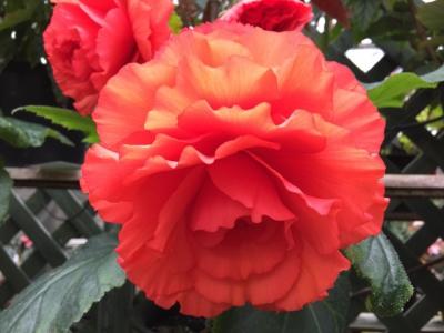Ponpoko Begonia Garden