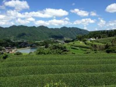 個性豊かな茶畑【オルレ】
