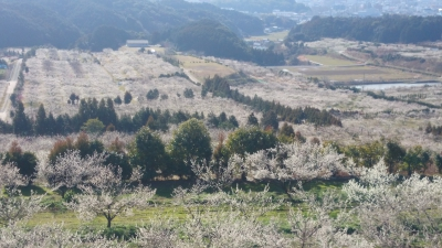 "Here you can take a stroll around the orchard while enjoying the blossoms of plum trees. From above the hilly part in the orchard, you can enjoy the superb panoramic view of the orchard and the town of Imari. The orchard also overlooks the nice view of Mount Koshidake, which is referred to as ""a Mount Fuji in Imari."""