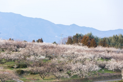 Ushio Bairin (Plum Orchard) is said to have the longest history of plum cultivation among other orchards in Saga prefecture. The beauty of the orchard can be enjoyed in various ways; the whole scenery of the orchard with a great contrast between the white and light pink colors of plum flowers, pretty little petals admired close at hand and the grandness of the trees seen from below.