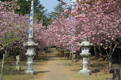 The lawn-covered park will be decorated with Yaezakura (double-flowered cherry). Many families visit here to enjoy flower viewing and barbecue. You can also enjoy grass skiing in the park.