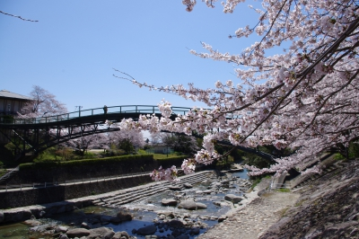 "About a hundred of Someiyoshino Cherry blossom trees bloom profusely. The 60-meter-long bridge here called ""Aiaibashi"