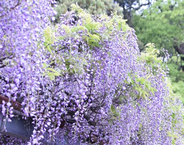 Japanese wisteria comes in full bloom at the site of Maki Town Tenmangu Shrine. The vine tree of wisteria here is estimated to be about 120 years old and designated as a valuable tree of Saga Prefecture and Tosu City.