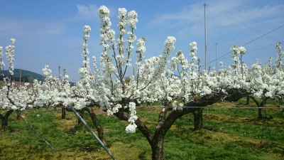Shinkou Farm holds the largest pear farm in Kyushi. As cherry blossoms bloom in spring, the flowers of the pear boom as well and create a white carpet of the pear flowers.