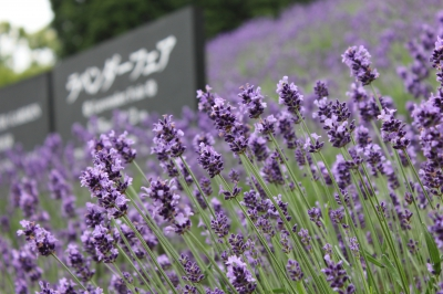 Here at China On The Park, you will be fascinated by the wonderful scent and the view of the purple carpet composed of 300㎡  English Lavender field, which spread across the 2,300 square meters field.