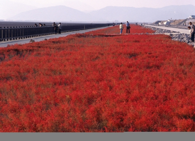 In autumn, the Shichimenso flowers that grow in colonies on the Higashiyoka Coast tint like a red carpet. The scenery reminds us that the season for the Shichimencho festival has arrived. How about spending some time on the coast of the Ariake Sea to see the so-called