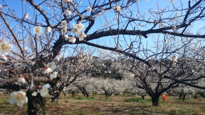 Feb - Mar: Flower Viewing at Fujino'o Plum Orchard