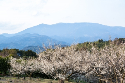 Feb - Mar: Ushinoo Bairin,Misato,Ogi-city (Plum Orchard)