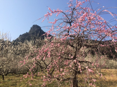 Feb-Mar: Plum Trees in Mifunagaoka Bairin (Plum Orchard)