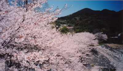 Mar-Apr: Cherry Blossoms at Niiyama Park