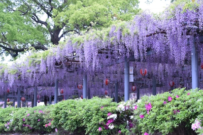 Apr: Wisteria in Maki (Maki no Ofuji)