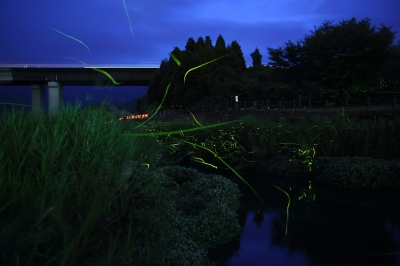 May-Jun: Fireflies at Gion River, Ogi-city