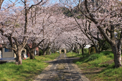 March Cherry Blossoms at the Approach to Ennoji Temple