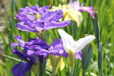 May-Jun: Iris in Yamato Central Park