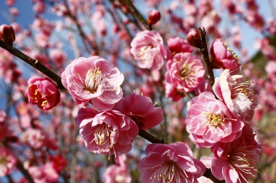 "Miyuki Plum Garden, a part of the vast Miyuki Park, has about 400 plum trees including ""Yaekoubai"" and other plum variations gifted from Dazaifu Tenmangu Shrine in Fukuoka Prefecture."
