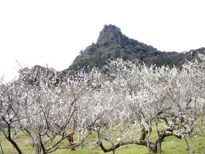 Mifuneyama Bairin is a plum orchard of about 16.5 hectares spreading over the eastern foot area of Mt. Mifuneyama. About 3,000 plum trees come in full bloom from around mid-February until March and a plum flower viewing event will be held in the area.