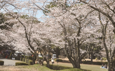 With as many as 600 cherry trees in full bloom, Tashiro Park will be packed with a lot of visitors seeking to enjoy flower viewing. The trees will also be lit up at night during the best viewing period.