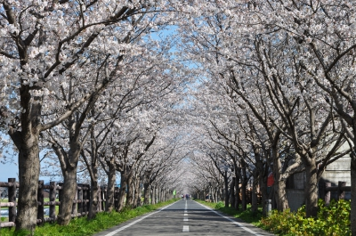 6km of cycle road which was created on the site of the Former Japan National Railways Saga Line. 1200 cherry blossom trees at both sides of the road creates a tunnel for everyone to enjoy.