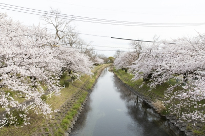 There is a lot of rare types of cherry blossoms around Hotarumi Bridge along Tafusekawa River. Take a break in the park after enjoying a walk.
