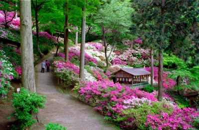 "This temple of Tendai Buddhism became known nationwide as ""azalea temple."" 50 thousand azalea bloom across the garden, measuring 75,000 square meters. During the period of azalea festival, many shops selling  souvenir goods, foods and plants will open along the 200 meter-long street leading you to the temple."