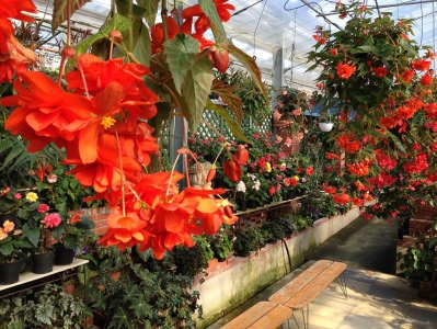 It is a botanical garden located in the middle of Mt. Kagamiyama. There are hundreds of kinds of begonia exhibited and on sale.  You can enjoy not only the begonia but also other beautiful flowers throughout the year but it is recommended to visit here in spring.