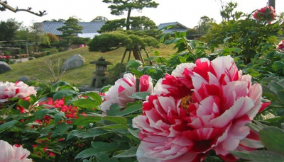 The garden has the Kyushu's largest worldwide collection of peonies; 80 types, 2,500 plants and 30 types, 30,000 Chinese peonies. Bring the entire family and have fun at the open-grass field or the Children's Forest with slides, swings, and assorted play equipment.