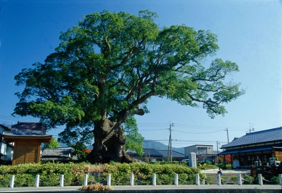 In the park, there is a large camphor tree named